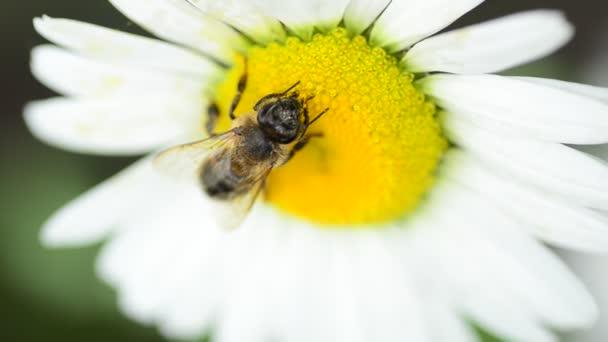 Včela na daisy (Heřmánek)