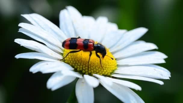 hmyz shromažďuje pyl na květ Heřmánek