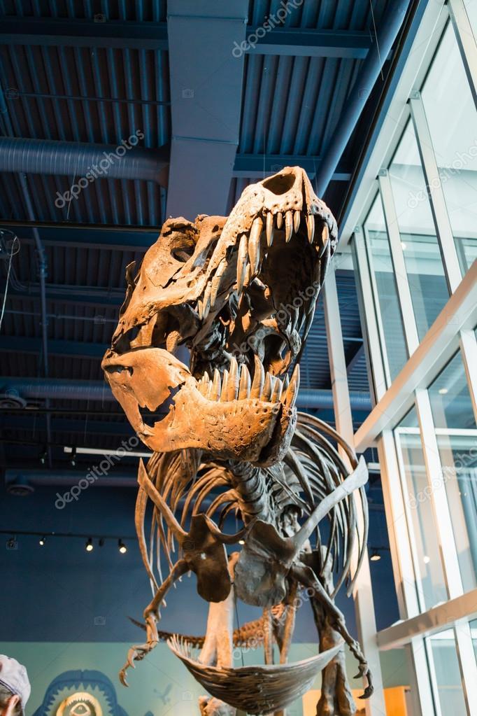 t-rex skeleton on display