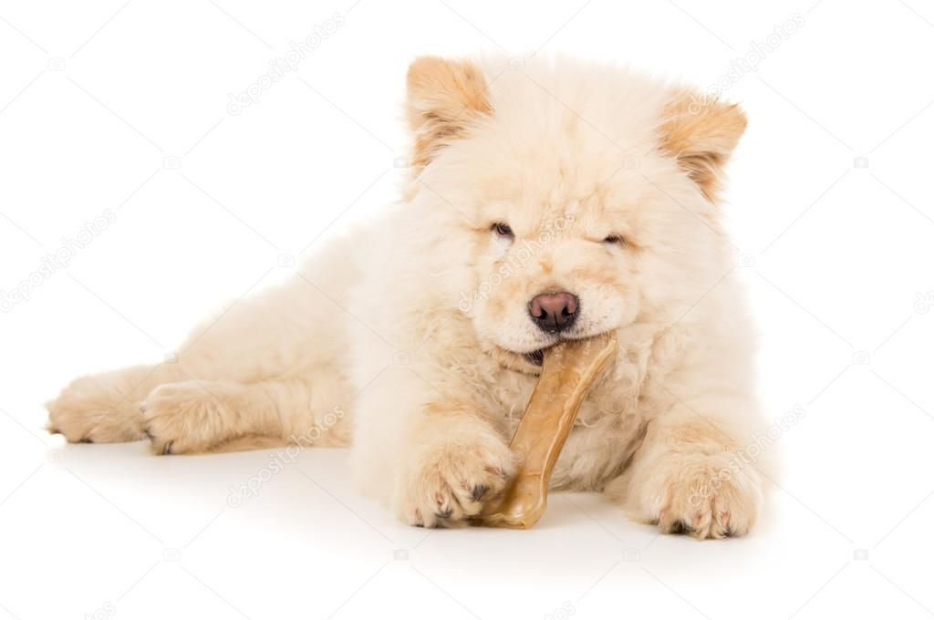 Purebred, puppy eats bone isolated