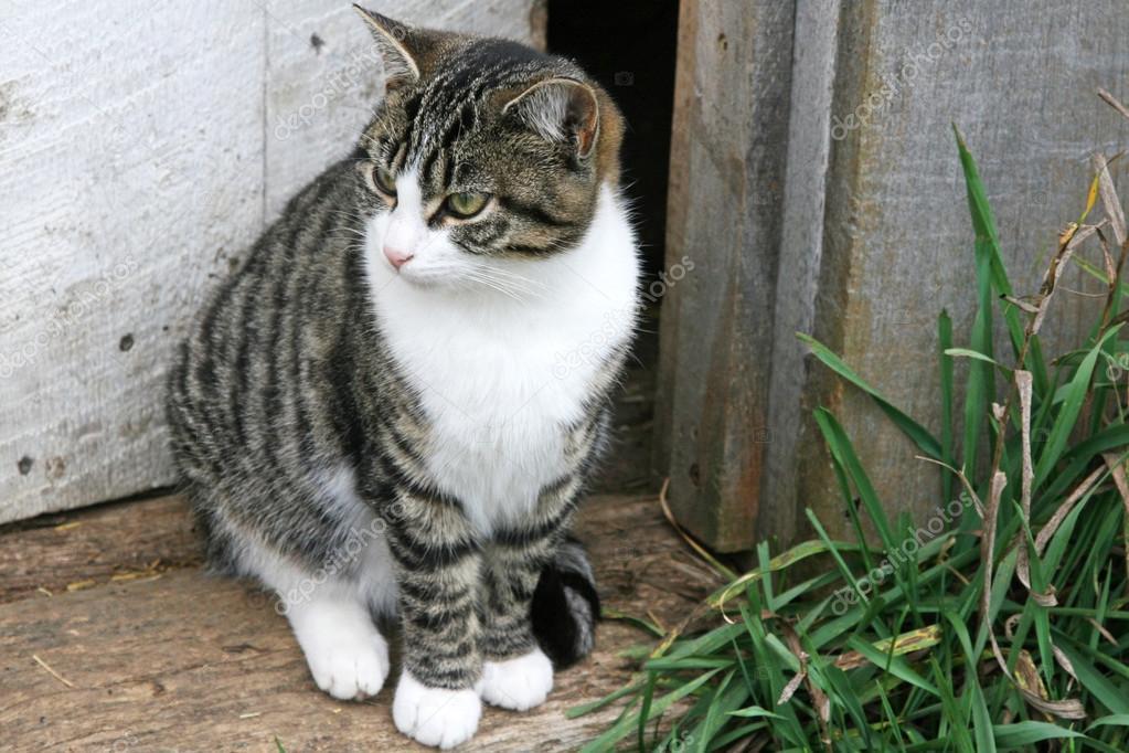 Striped Cat White Nose