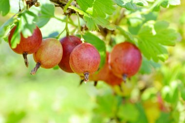 Ripe red gooseberry on branch