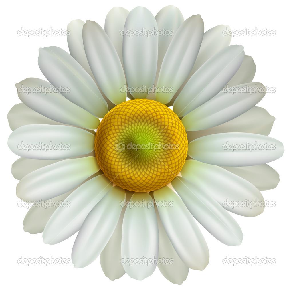 Chamomile flower, vector Eps10 illustration