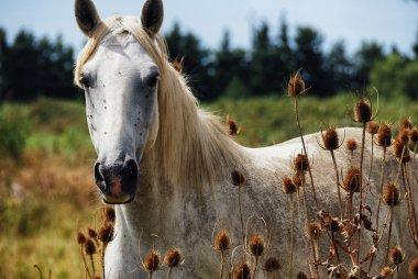 horse wild of camargue