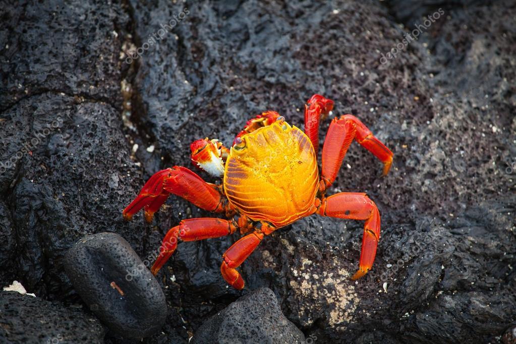 Galapagos crab, Galapagos Islands