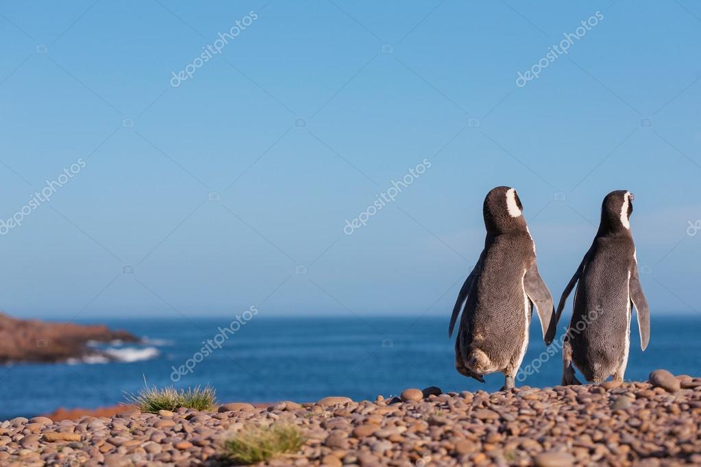 A couple of Magellanic penguin