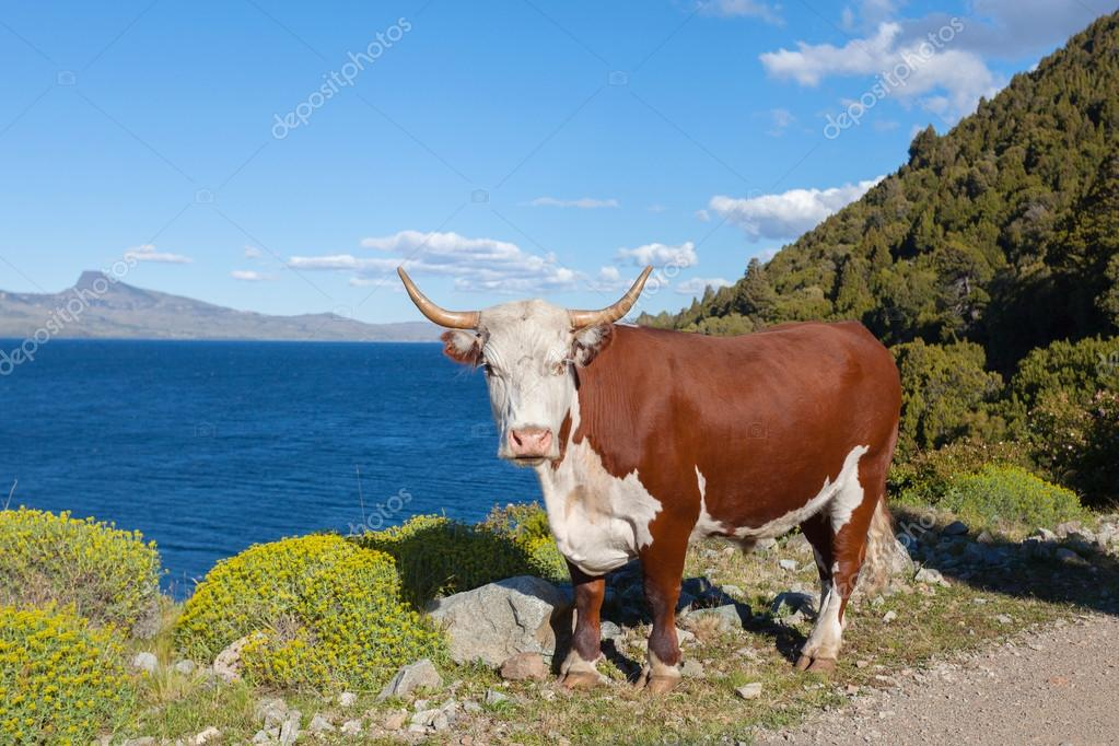 Cow grazing in Patagonia