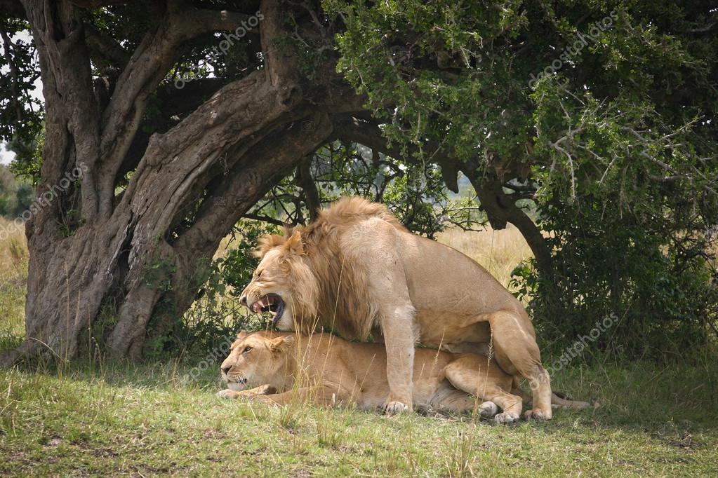 Un par de apareamiento de los leones en la sabana de noche foto de stock sunsinger 37265243 - Leones apareamiento ...