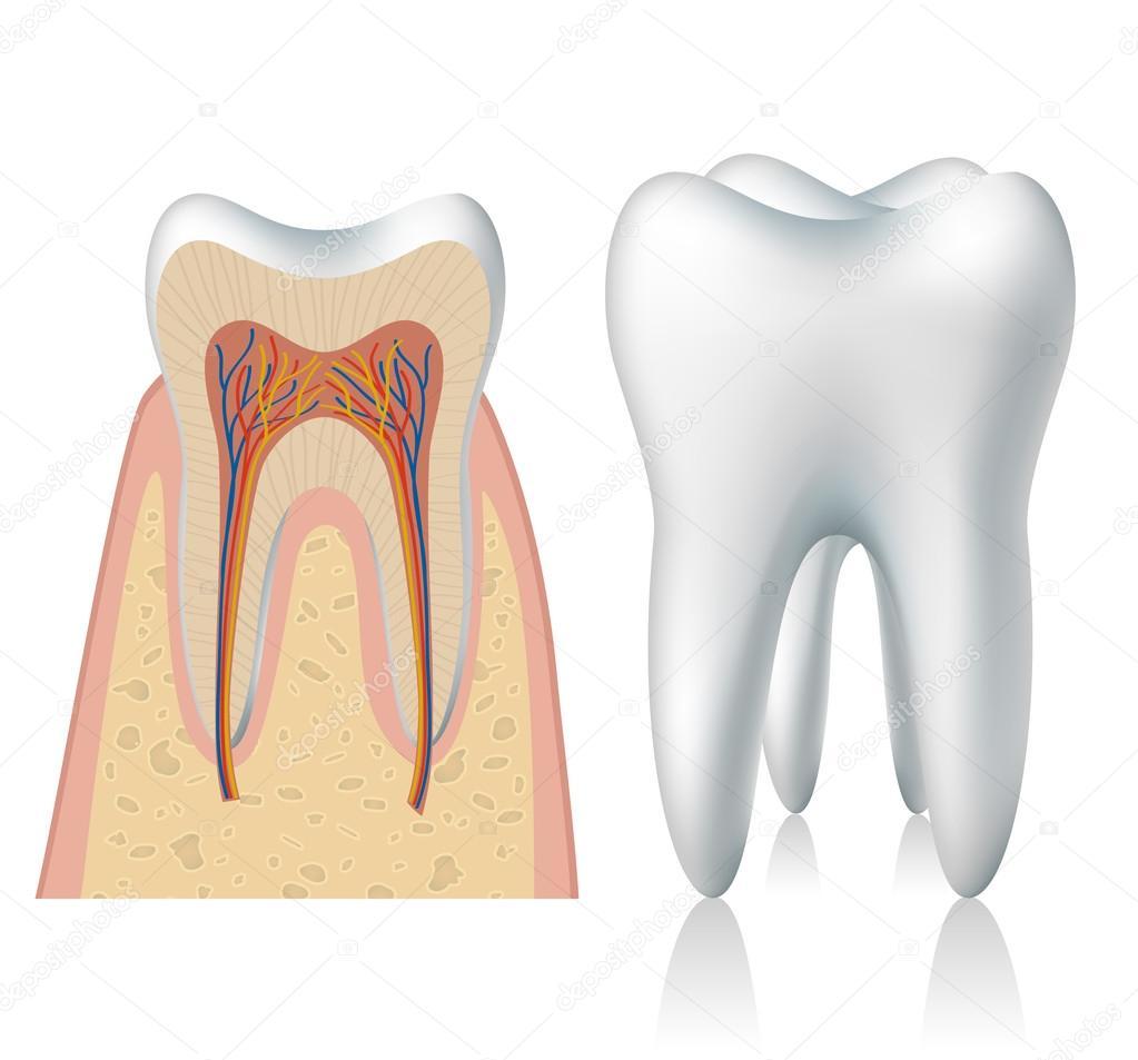 Zahn-Anatomie — Stockvektor © Helioshammer #30527355