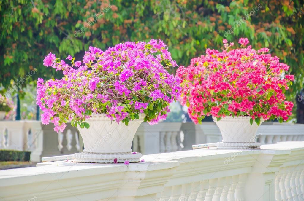 Fiori di bouganville foto stock mrsiraphol 43307485 for Bouganville in vaso prezzo