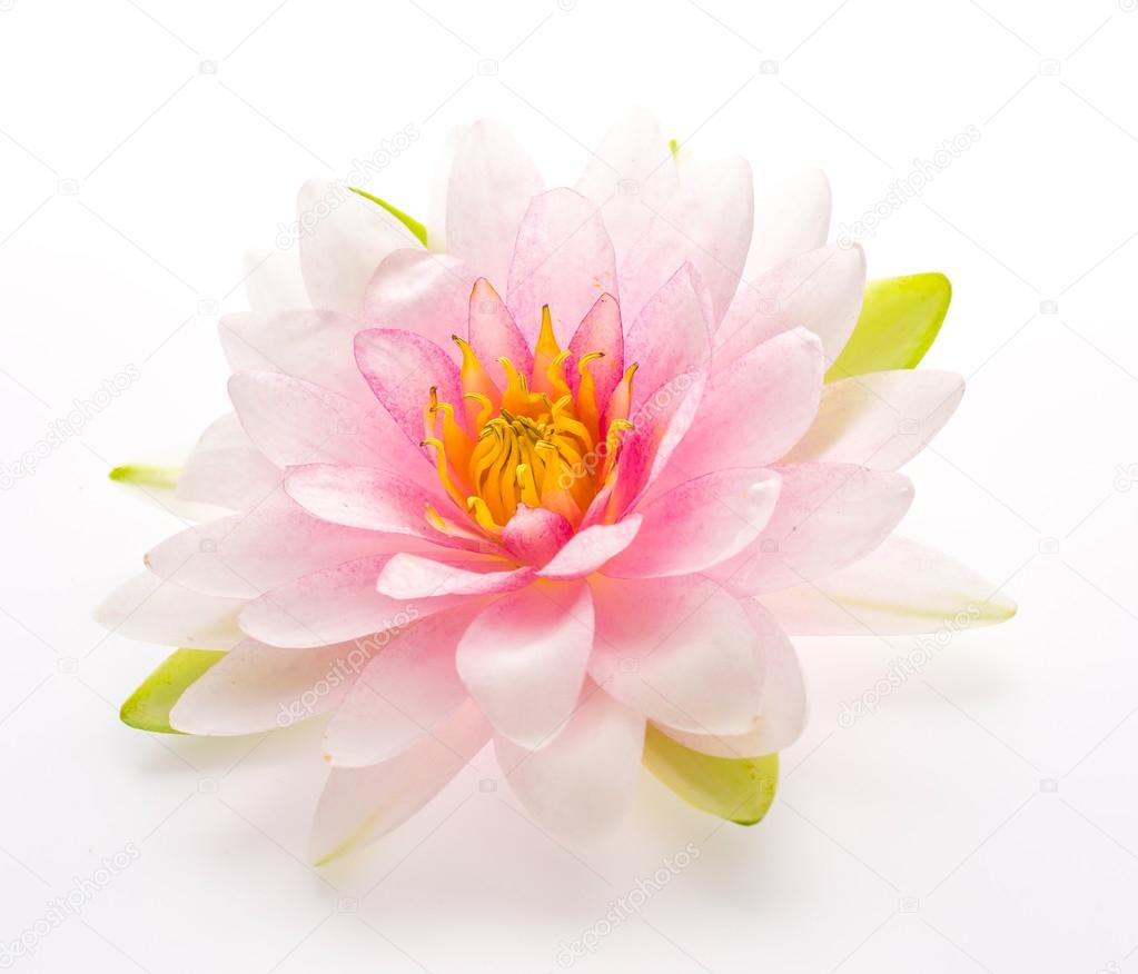 Lotus Flower Isolated White Background Stock Photo Mrsiraphol