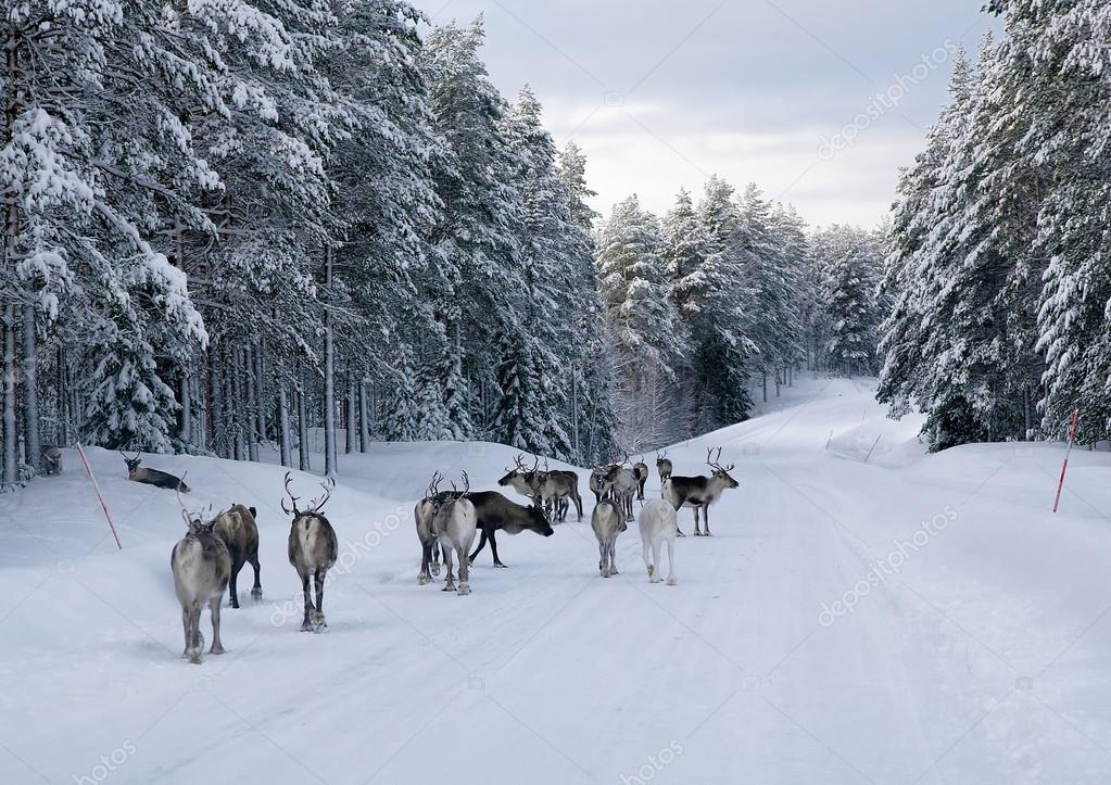 Reindeer on the road in northern Sweden in winter