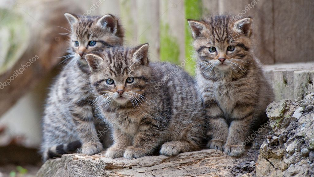 Three Baby Wildcats