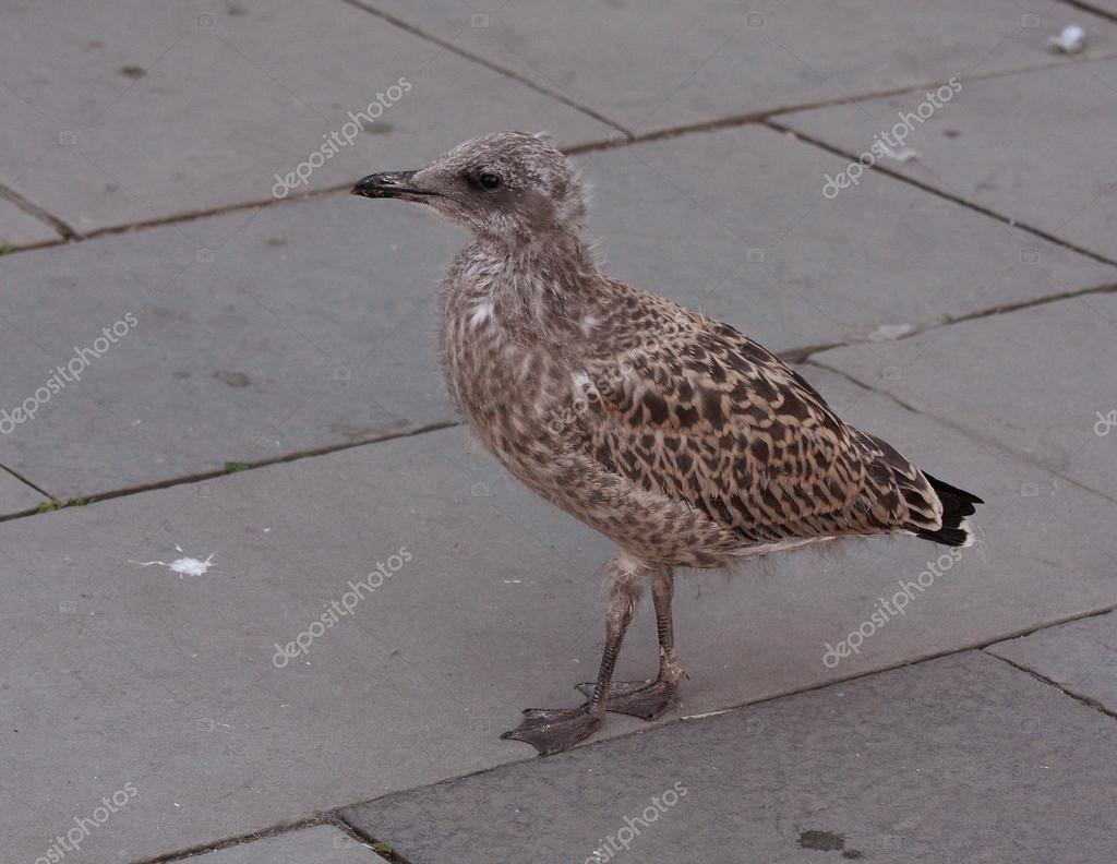 Baby seagull — Stock Photo © borisreyt #18586537