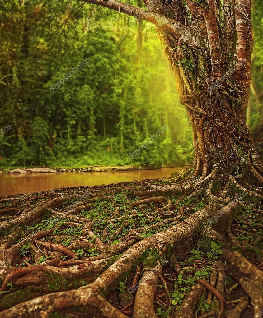 Roots of giant banyan tree