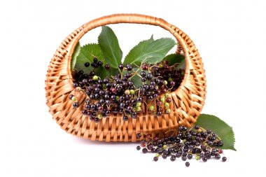Elderberry in basket, isolated on white background