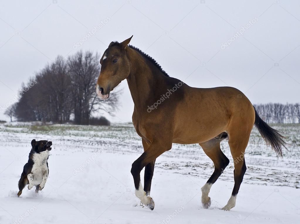 buckskin Akhal-Teke stallion