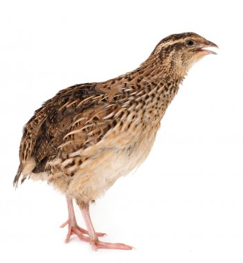 Young quail