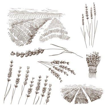 Hand drawn lavander flowers vector set