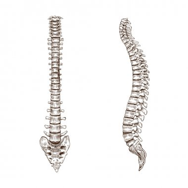 Spine isolated on a white backgrounds
