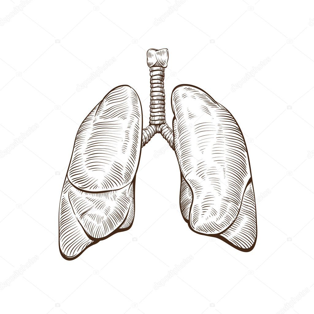 Lungs hand drawn isolated on a white backgrounds