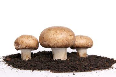 Edible Mushrooms grow