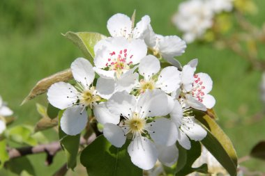 Apricot white flowers on green