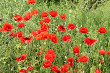 Red Green Field with Corn Poppy