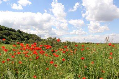 Corn Poppy Landscape