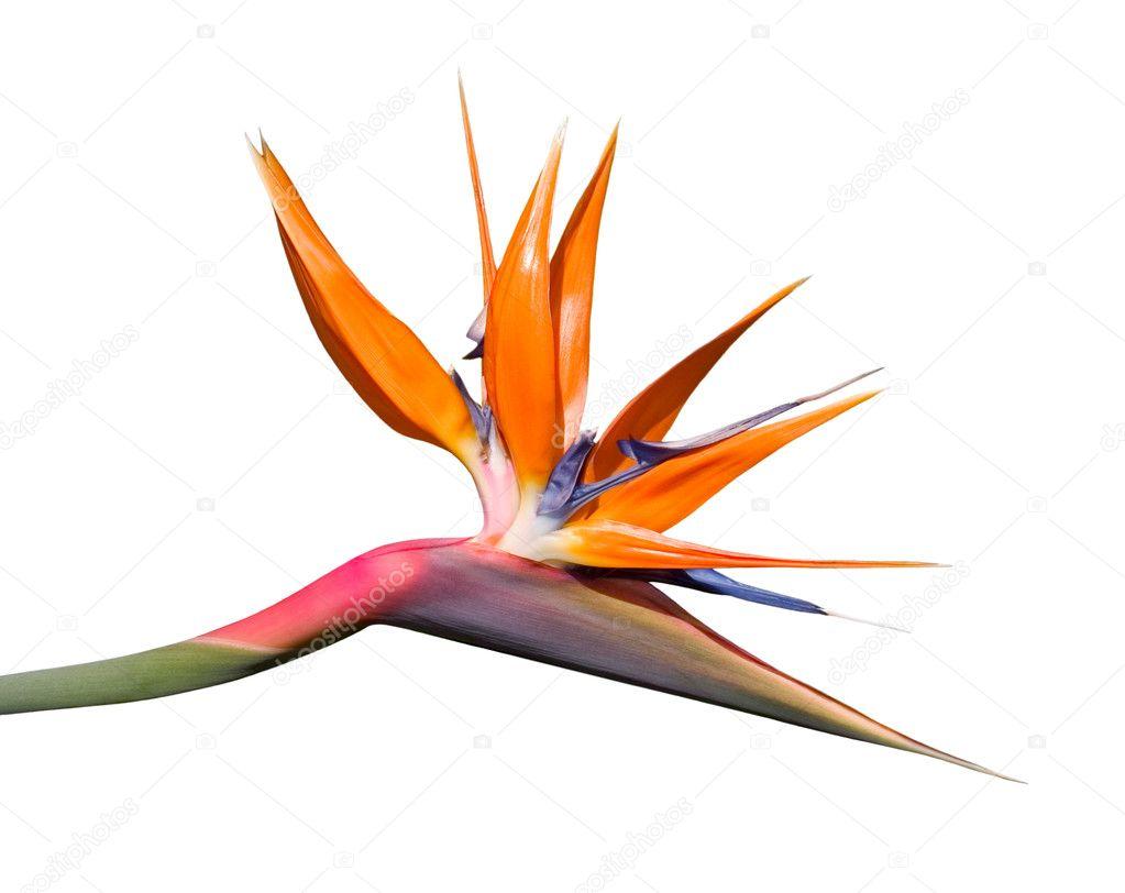 Bird Of Paradise Flower Stock Photo Davidschrader 16795295