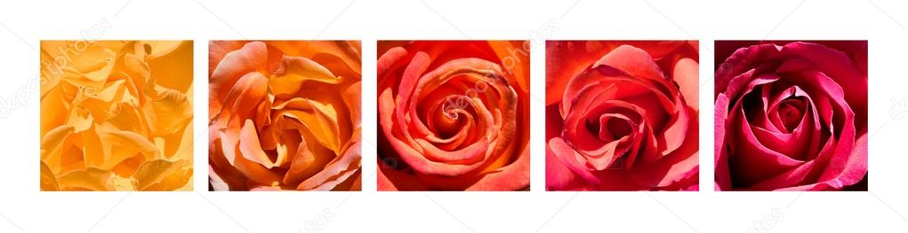 Rose Hearts Rainbow
