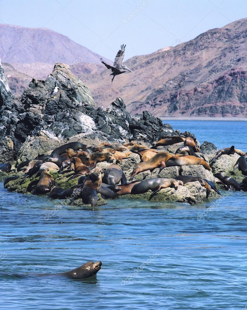 Sea Lions and Pelican