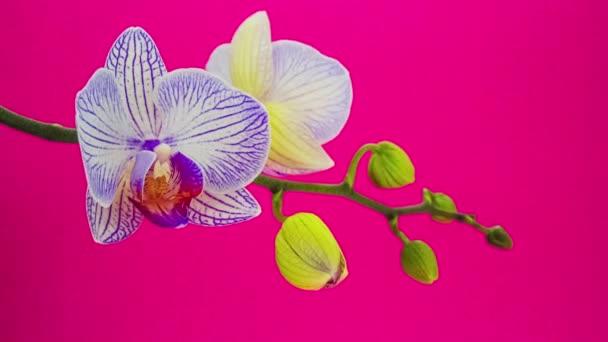 fialové květy orchidejí na růžovém pozadí