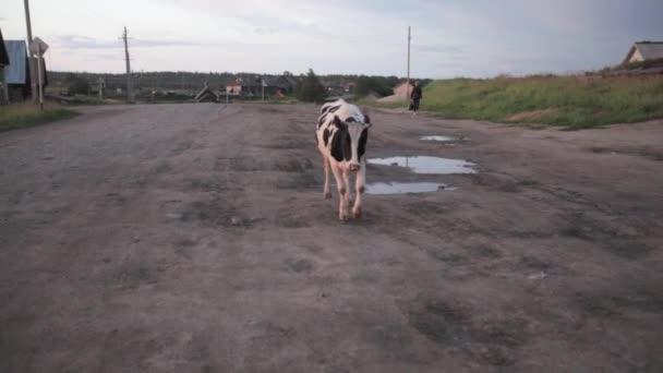 tehéntej tehénbőgés az úton az orosz vidék