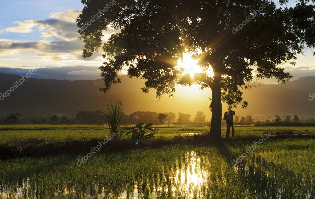 Silhouette of single tree with sunburst at a paddy field in Sabah, Borneo, Malaysia