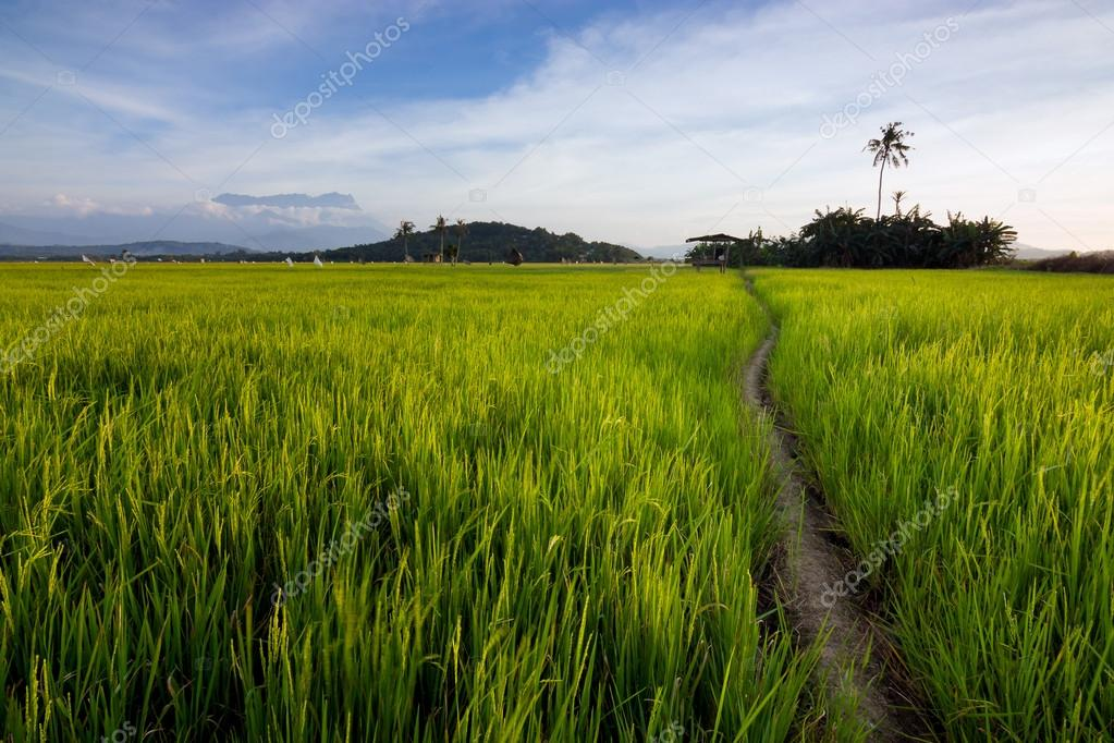 Harmonic view of a paddyfield with blue sky at Sabah, Borneo, Malaysia