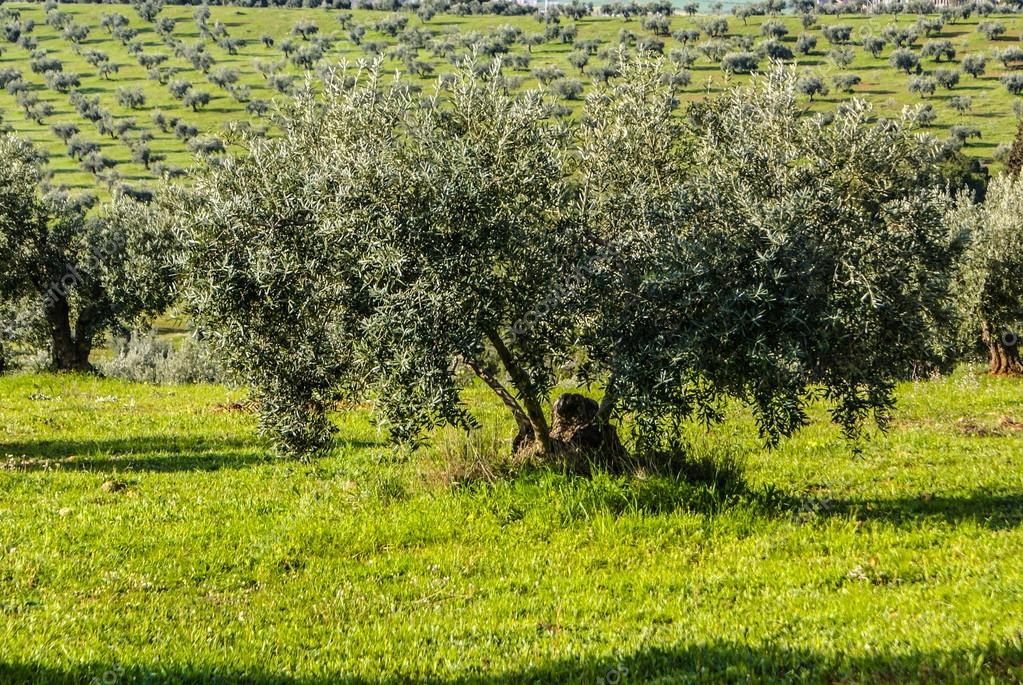 Panorama of the province of Granada, with olive trees. Andalusia