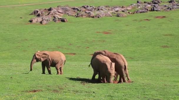 afrikai elefánt fű etetése felsobbrendu