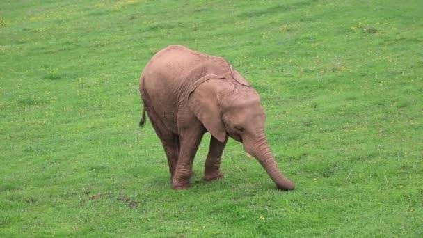 bekannte Gruppe von afrikanischen Elefanten fressen gras