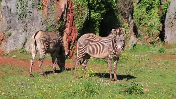 selvatici zebra alimentazione nelle pianure prati del lago nakuru, kenya, africa