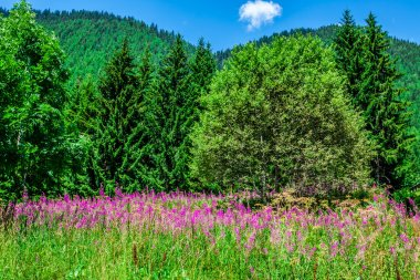 Wild orchids in an Alpine meadow. Melchsee-Frutt, Switzerland