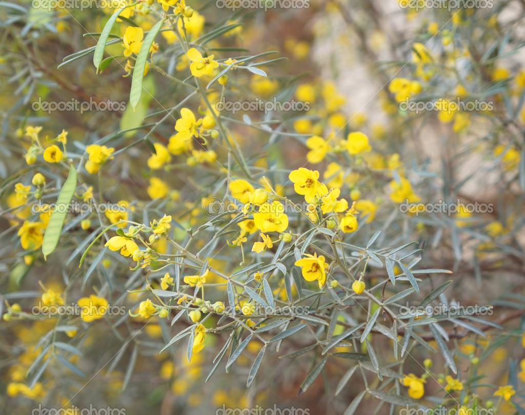 Yellow Flowers Of Cassia Stock Photo Bakusova 43448695