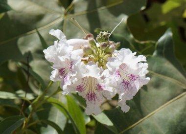 Chitalpa tashkentensis blossom