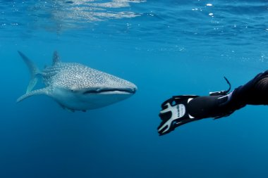 Whale Shark underwater approaching a scuba diver in the deep blue sea seems to attack