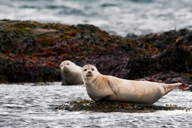A seal relaxing on a rock