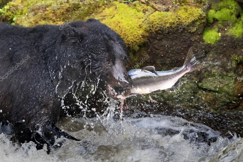 A black bear eating a salmon in a river with splash and blood Alaska Fast food