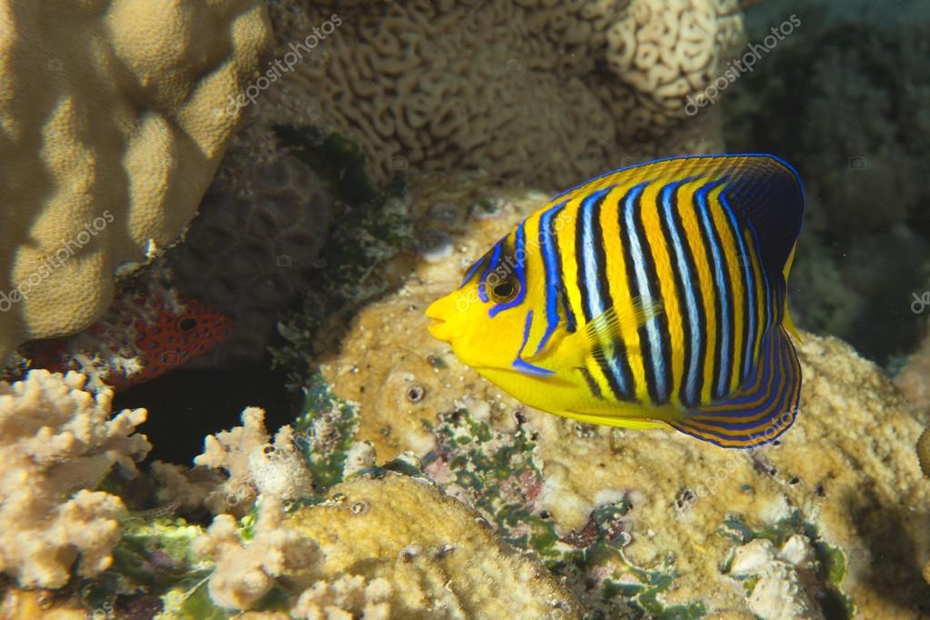 Un Pez ángel Amarillo Y Azul En El Fondo Del Arrecife