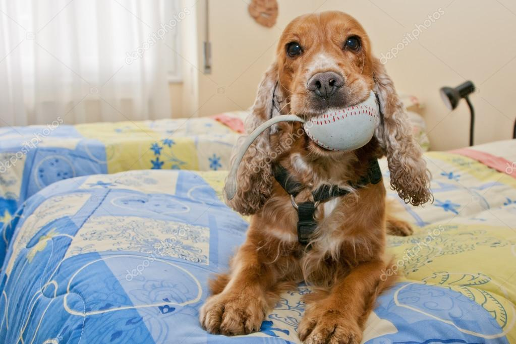 An english cocker spaniel portrait while holding a toy mouse