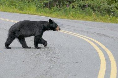 A black bear crossing the road in Alaska