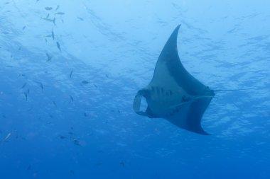 A manta in the deep blue sea